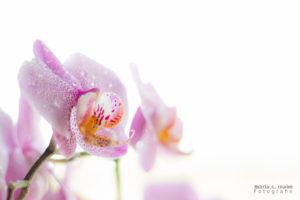 Lieblings-Orchidee